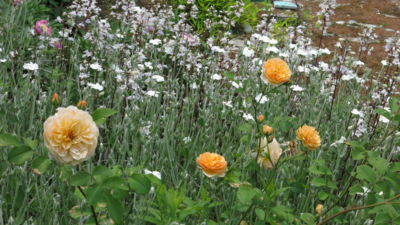 David Austin Rose Golden Celebrations and  Lychnis coronaria alba