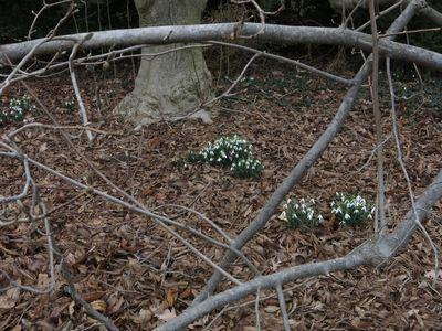 Snowdrops beneath magnolia WEB