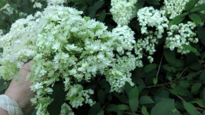 Hydrangea arborescens 'Hayes Starburst' WEB