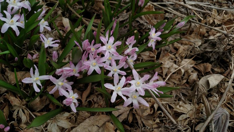 Chionodoxa forbesii 'Pink Giant'_02