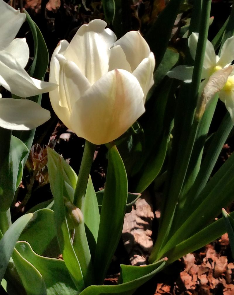 Tulipa 'White Bouquet'_02 post