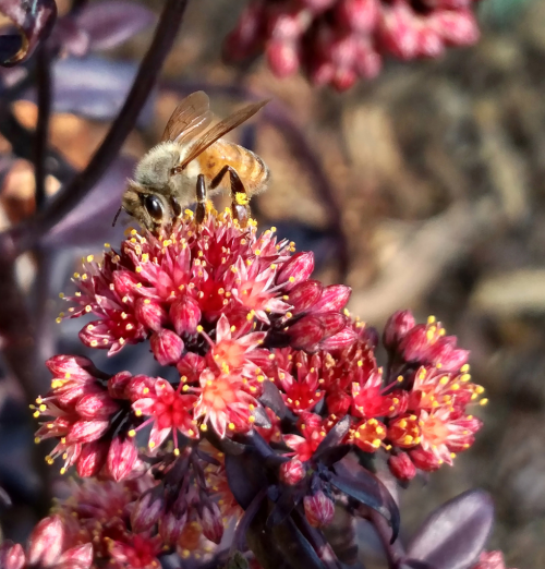 Bee on Sedum_blog