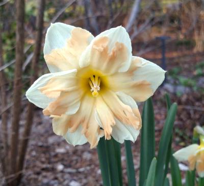 Narcissus 'Cum Laude'