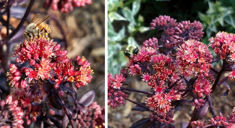 Bees on Sedum 'Purple Emperor'