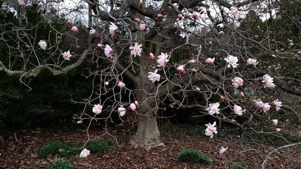 Magnolia_March18_01