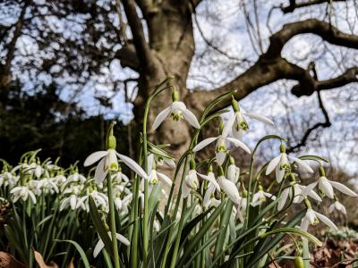 Snowdrops under magnolia by Pete Kolonia