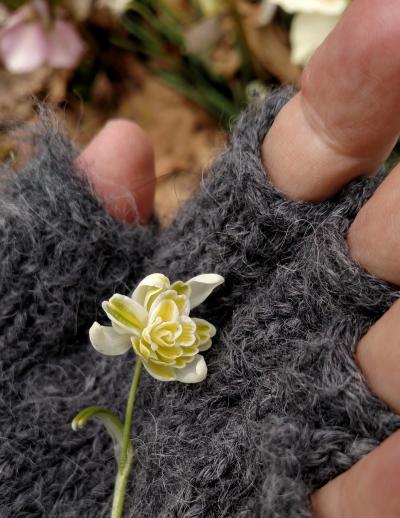 Double yellow snowdrop 'Lady Elphinstone'