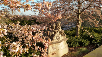 A pair of putti and cherry blossoms  Prunus ×yedoensis 'Akebono'_2