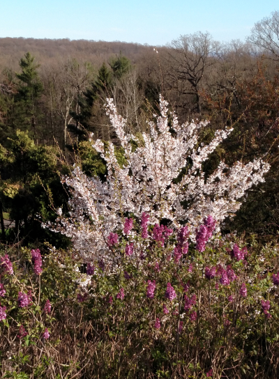 Lilacs and prunus