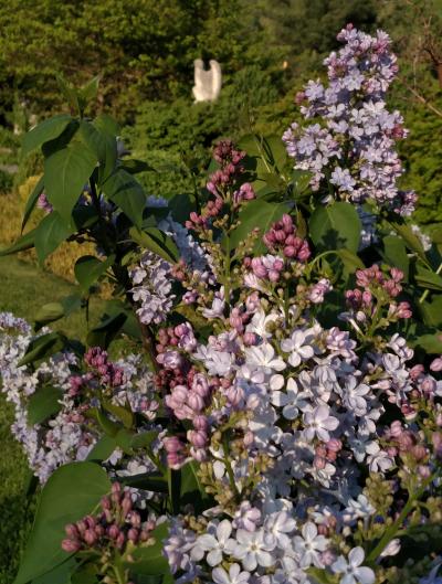 Viburnum and magnolia