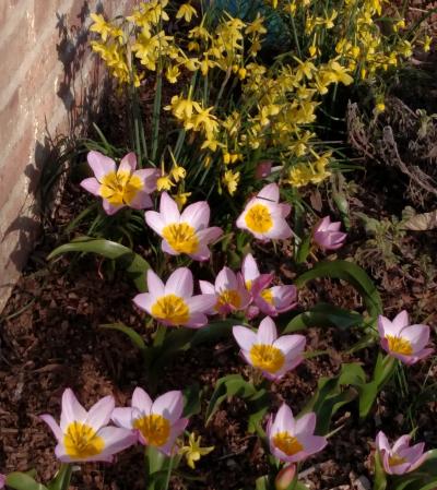 Tulipa bakeri 'Lilac Wonder' and Narcissus 'Hawera'