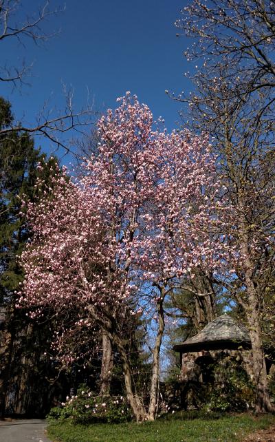 Magnolia x solangeana at Summer House