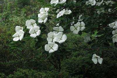 Big foot geranium Geranium macrorrhizum